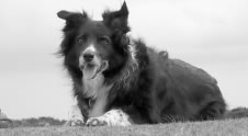 photo of sheepdog
